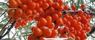 Сорта облепихи: описание, плодоношение и особенности выращивания