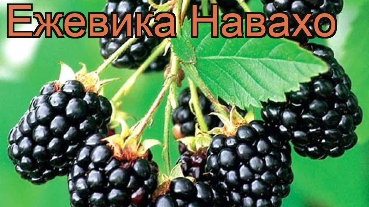 Особенности выращивания ежевики сорта киова (кайова)