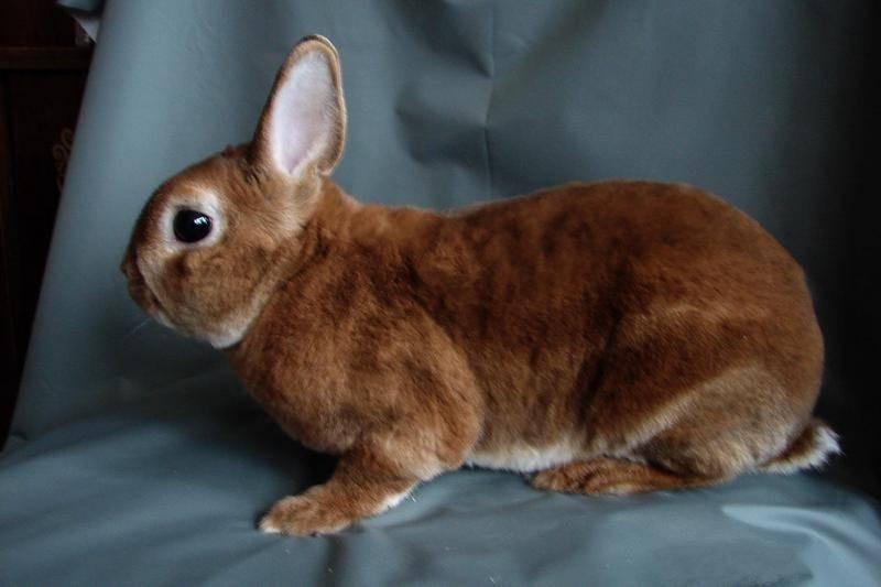 Кролик рекс  фото, описание, ареал, питание, враги