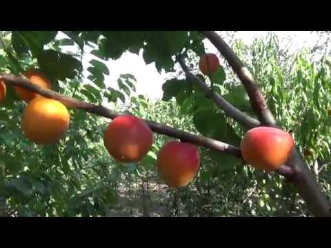 Канадский поздний сорт абрикоса Манитоба: описание, фото