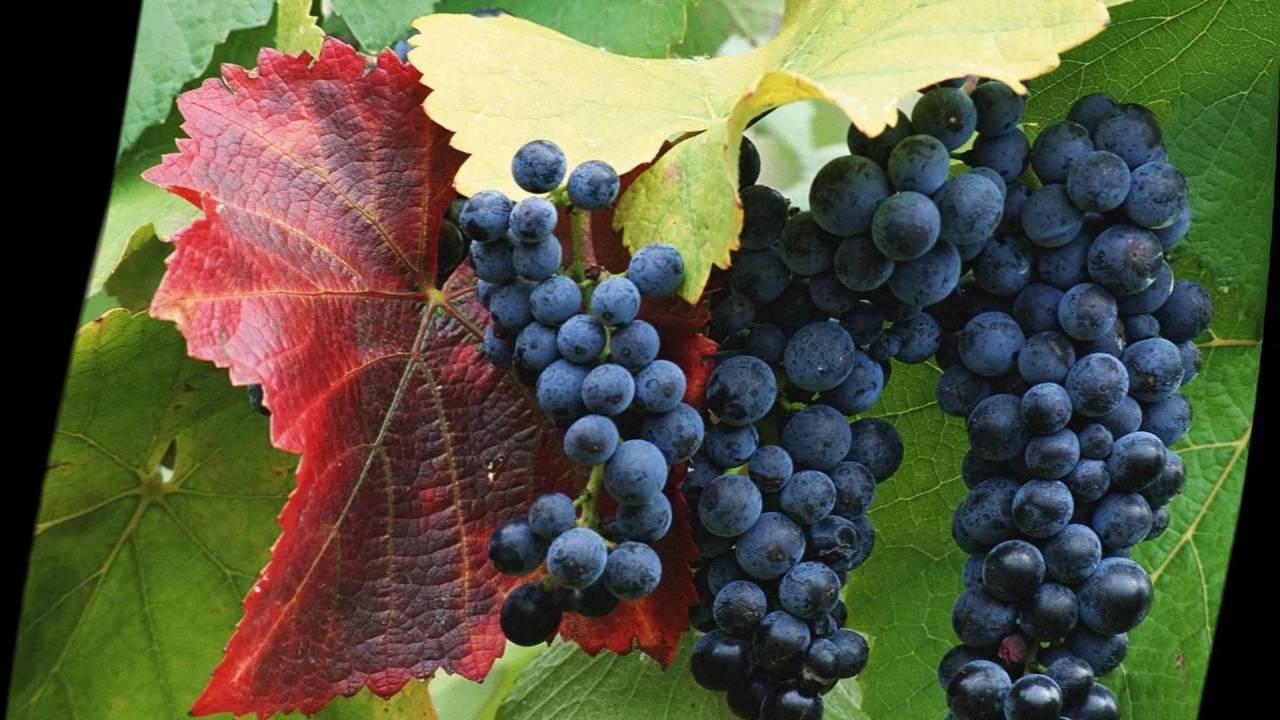 Как пересаживать виноград на новое место — когда это лучше делать?