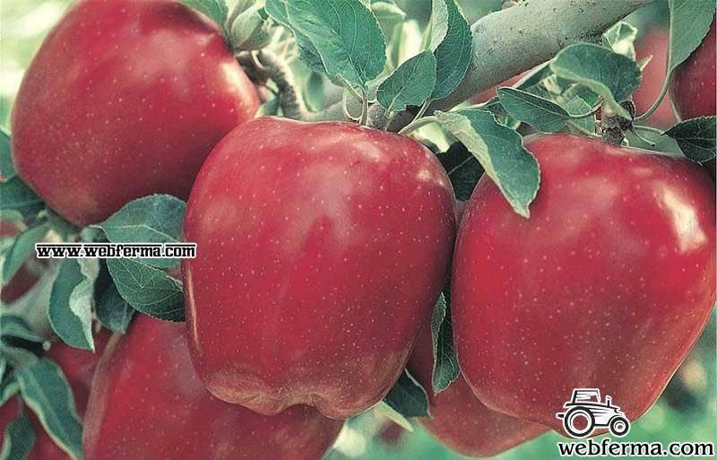 Яблоня ред делишес – выращивание и полезные свойства