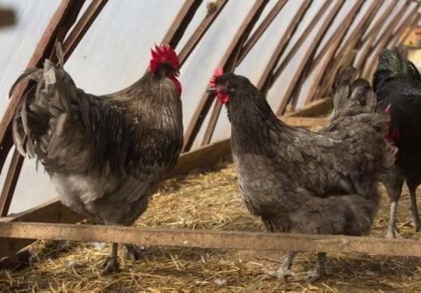 Порода кур джерсийский гигант (24 фото): описание. чем кормить суточных цыплят и взрослых кур? их вес и яйценоскость