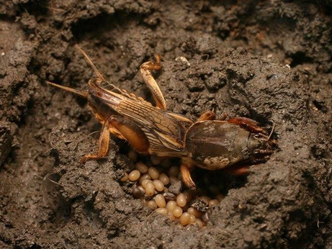 Борьба с колорадским жуком народными средствами: горчицей и уксусом