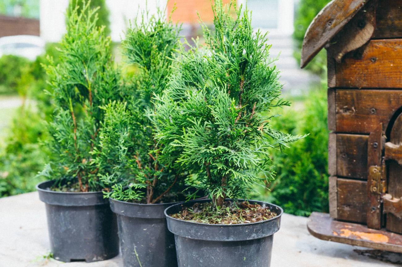 Можжевельник сибирский: посадка и уход за растением в условиях сибири