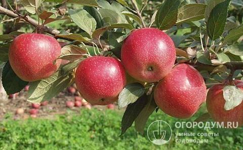 Описание сорта абрикосов жигулевский сувенир, история селекции и характеристика плодов