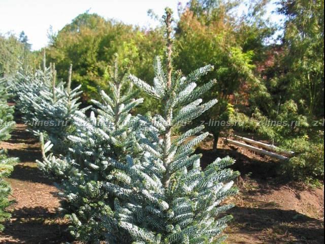 Правила посадки и выращивания пихты сильберлок