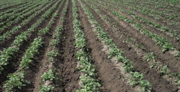 Посадка картофеля по голландской технологии. видео