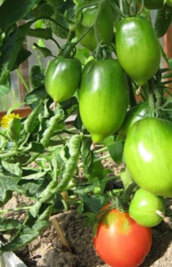 Томат канопус: характеристика и описание сорта, урожайность отзывы фото кто сажал