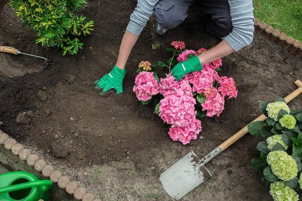 Подкисляем почву для гортензий правильно