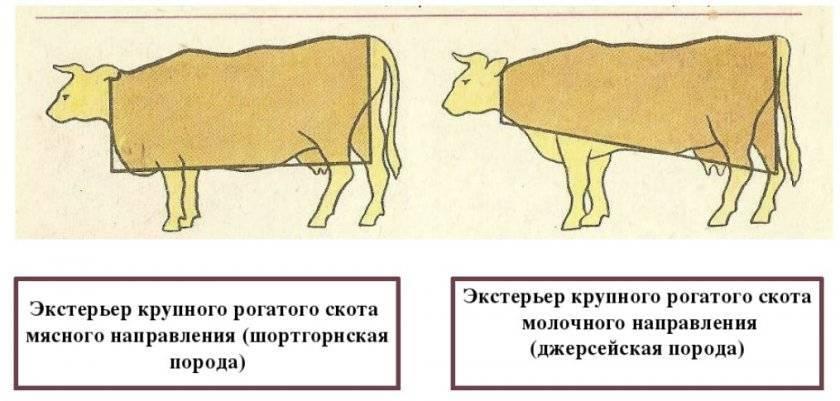 Бонитировка как практический прием отбора животных