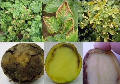 Борьба с фитофторой картофеля - народные методы борьбы и препараты