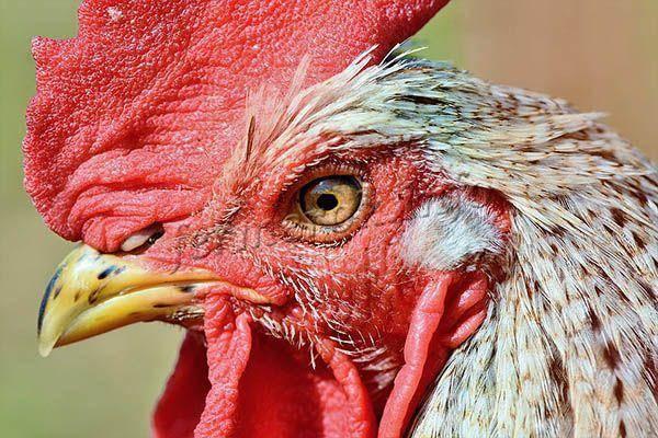 Куры мясо-яичных пород: обзор наиболее продуктивных пород