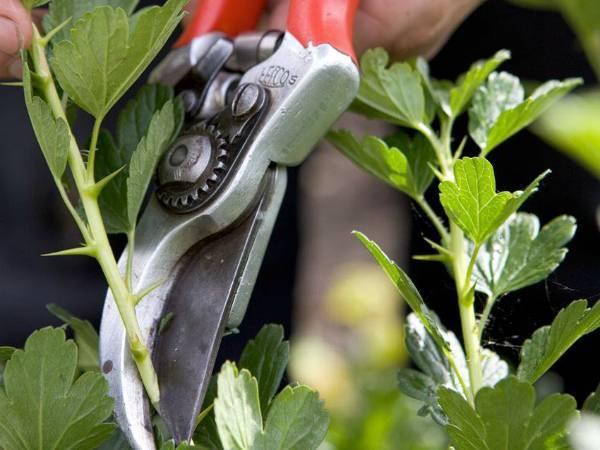 Как ухаживать за крыжовником в весенний период?