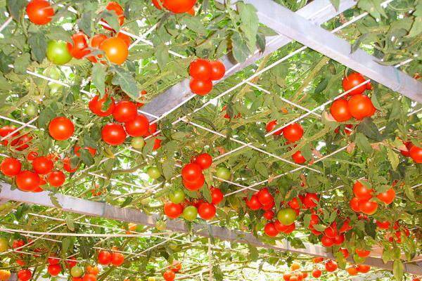 Помидоры Спрут F1: как выращивать в открытом грунте и теплице