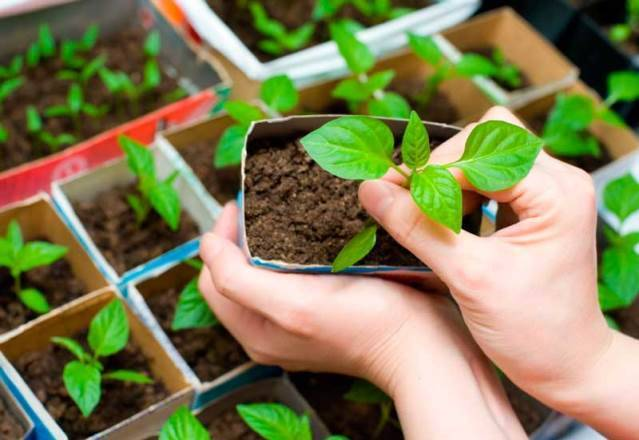 Посев семян перца на рассаду в домашних условиях: правила посадки