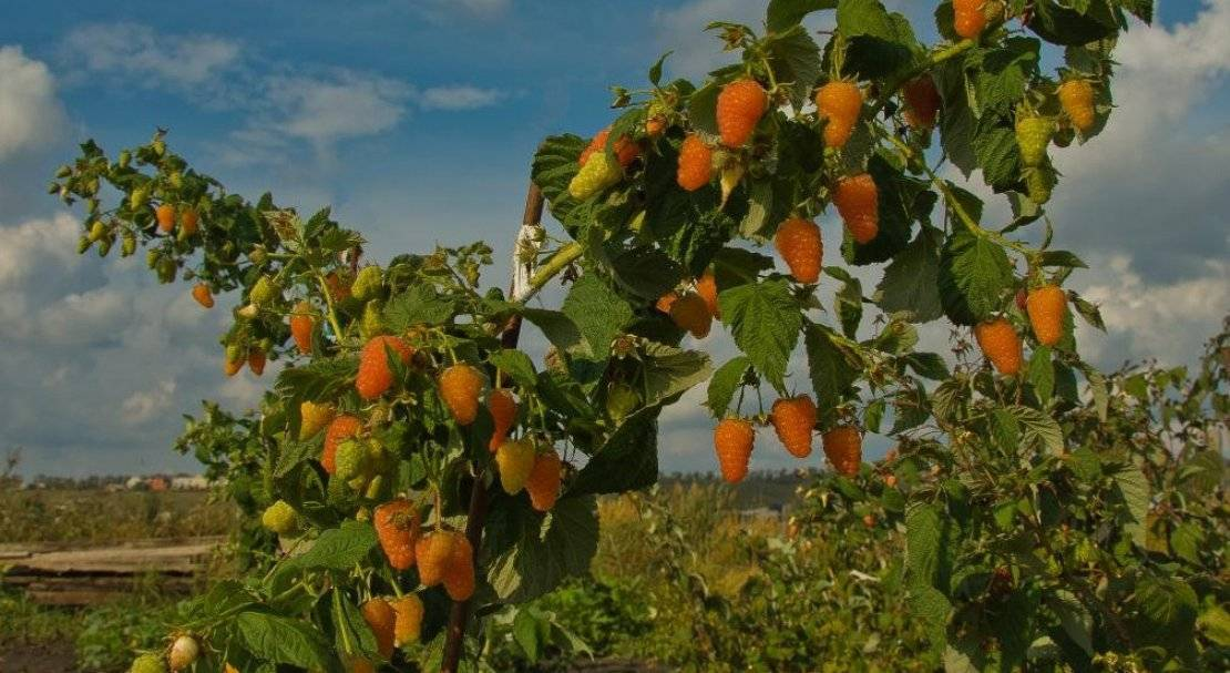 Малина оранжевое чудо — природная конфетка