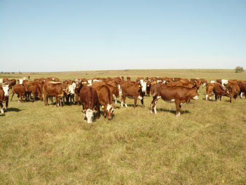 Калмыцкая порода коров. особенности калмыцкого крс