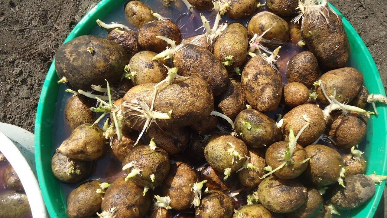 Как правильно подготовить картофель к посадке?