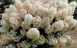 Гортензия крупнолистная: сорта, которым подходит климат подмосковья