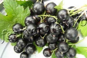 Черный жемчуг — сорт смородины, который любят садоводы