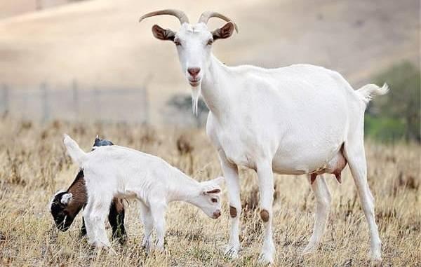 Молочные породы коз без запаха: как выбрать, описание пород