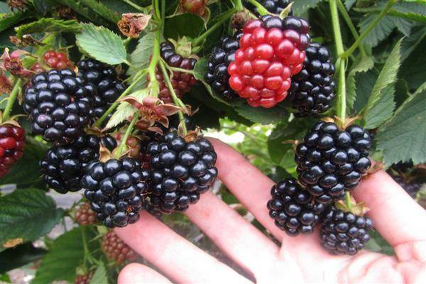 Особенности выращивания ежевики сорта гималаи
