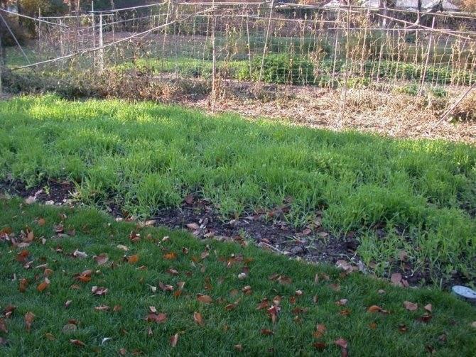 Редька масличная как сидерат: когда и как сеять осенью