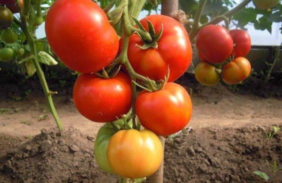 Описание сорта томата президент, особенности выращивания и ухода - общая информация - 2020