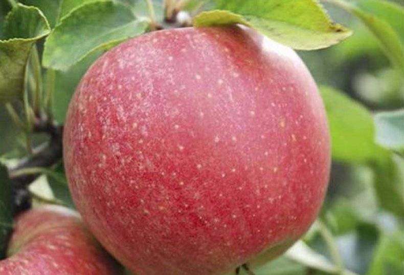 Яблоня чемпион  — правила посадки и ухода