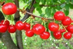 Описание и характеристика сорта вишни брусницына