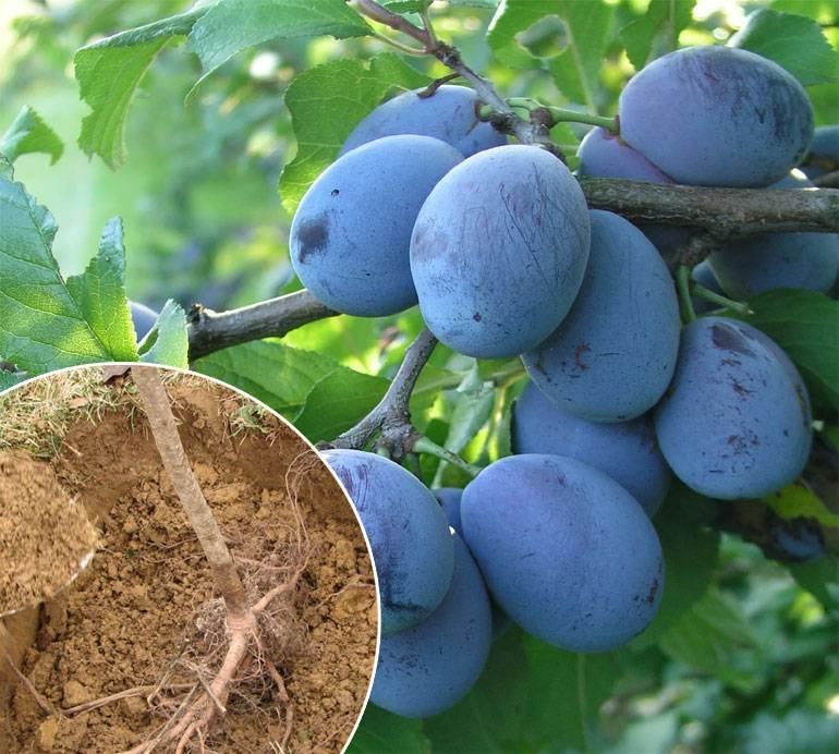 Правила выращивания сливы в сибирском климате