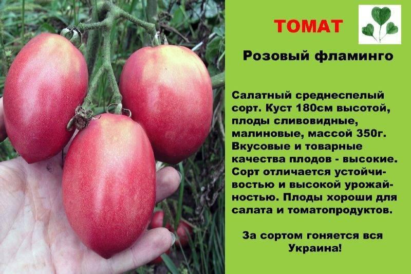 Сорт томатов розовый фламинго: важные особенности и опыт выращивания