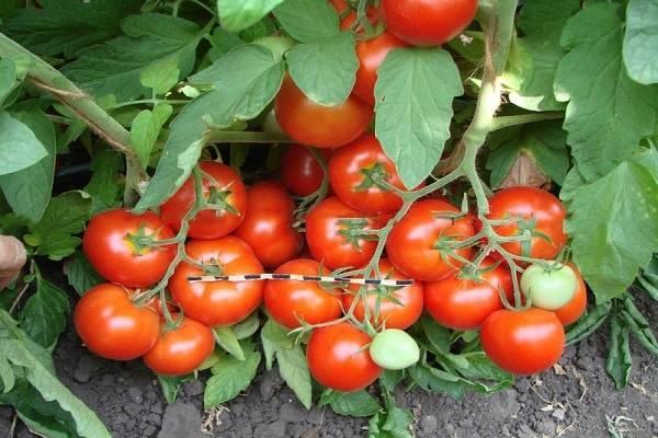 Вкусный и холодостойкий помидор андромеда