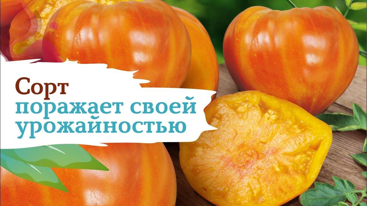 Описание сорта томата янтарный 530, урожайность и характеристика