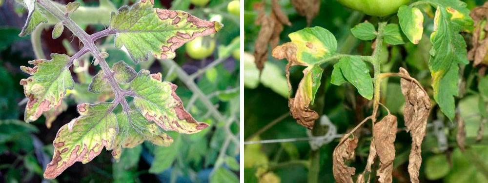 Почему рассада помидоров желтеет и не растет после пикировки, в чем причины и что делать, если сохнут и вянут нижние листья томатов?