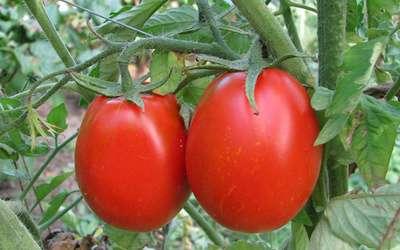Сорта томатов голландской селекции для теплиц