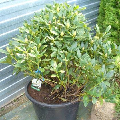 Вечнозеленый рододендрон якушиманский