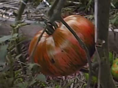 Новый гибрид — томат «сибирский тигр»