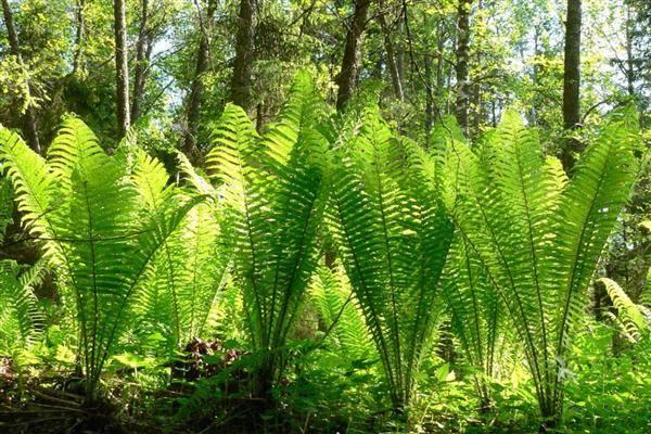 Папоротник страусник: фото растения, посадка и уход - садовые цветы, растения и кустарники - 2020