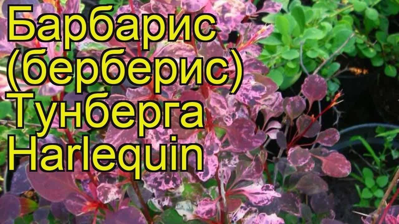 Барбарис тунберга «арлекин»: описание и выращивание