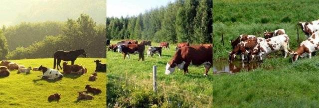 Содержание коров в домашних условиях