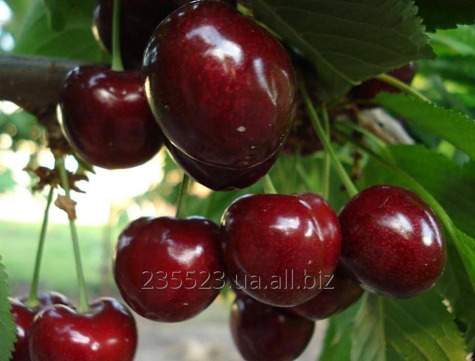 Черешня дончанка – королева садового участка