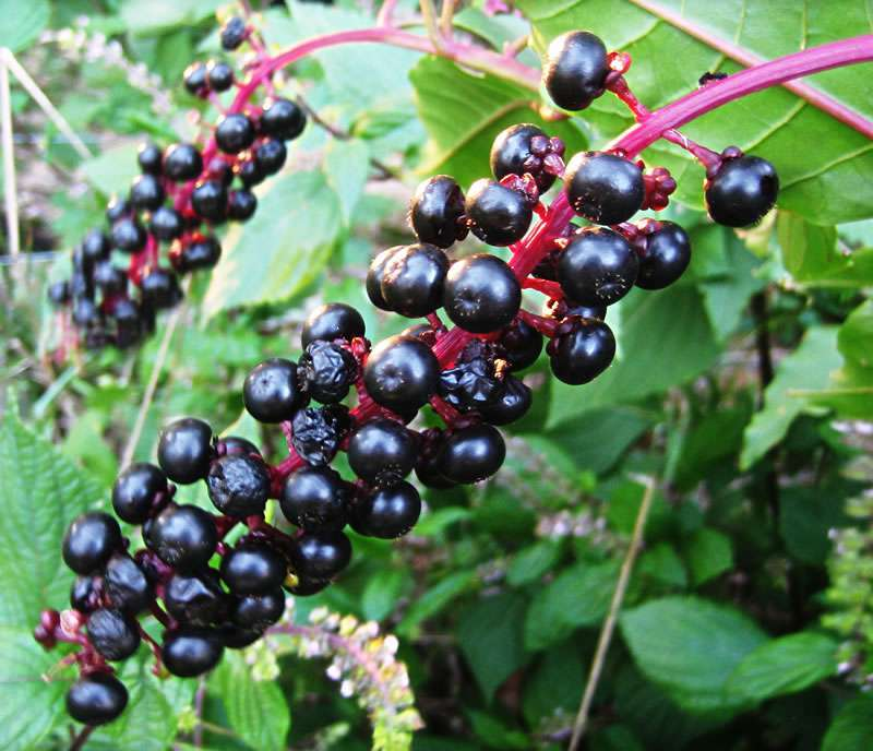 Фитолакка (лаконос): лечебные свойства и противопоказания, рецепты, применение