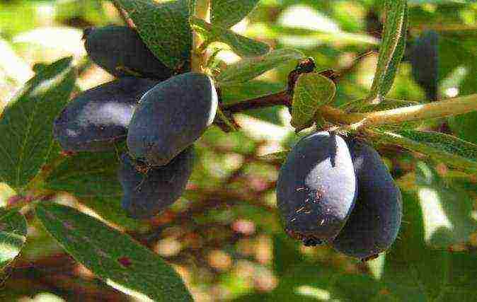 Жимолость съедобная берель: характеристики сорта и особенности выращивания