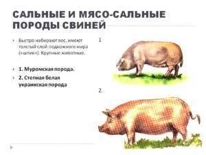 Сало – важный и популярный продукт свиноводства