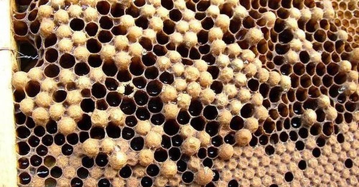 Искусственный вывод качественных пчелиных маток
