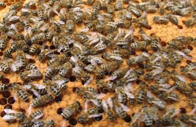 Каменный расплод пчел признаки и лечение