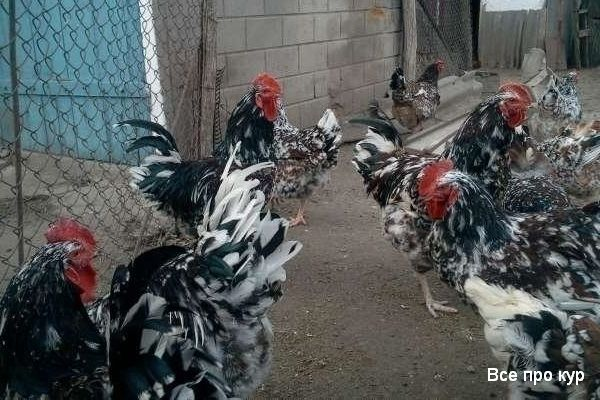 Ливенские куры ситцевые — фото и описание породы, отзывы