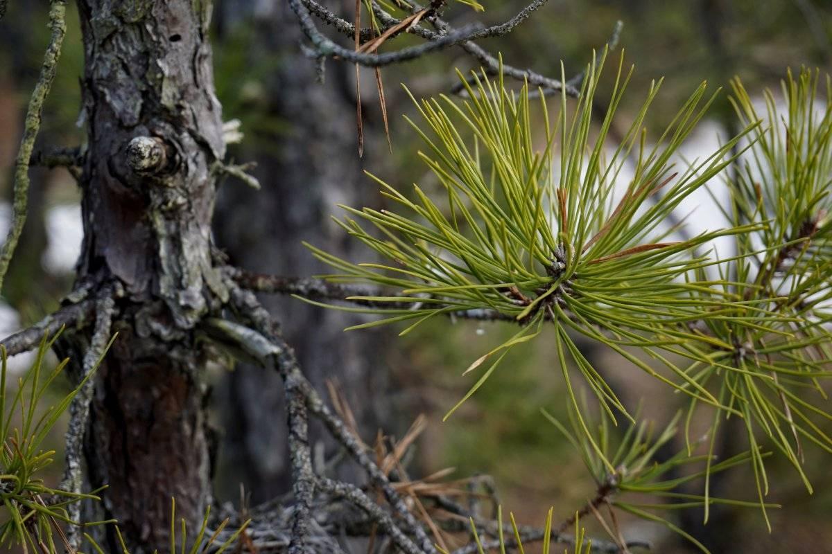Сосна обыкновенная (66 фото): описание, ее корневая система. как обрезать сосну, чтобы она росла вверх? ее цветение. особенности размножения